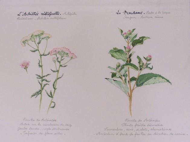 Plantes médicinales en Bretagne