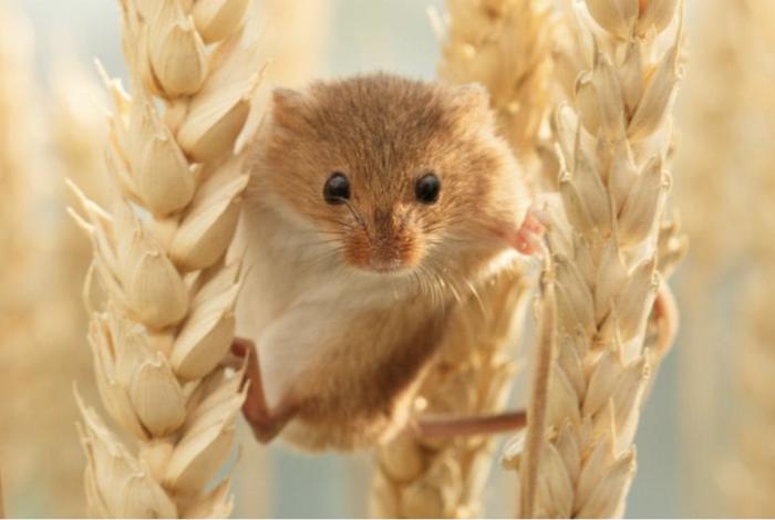 Aélia, la souris des moissons